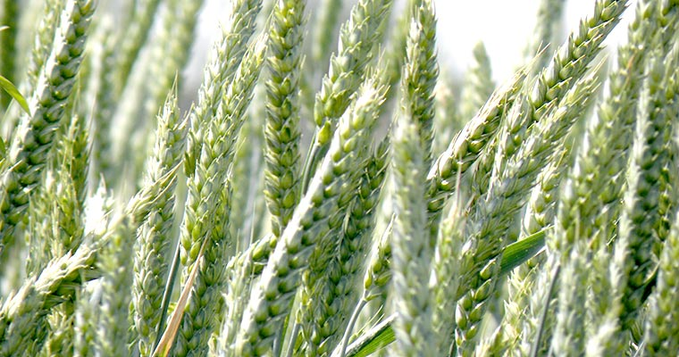 New project to assess wheat production in Uzbekistan
