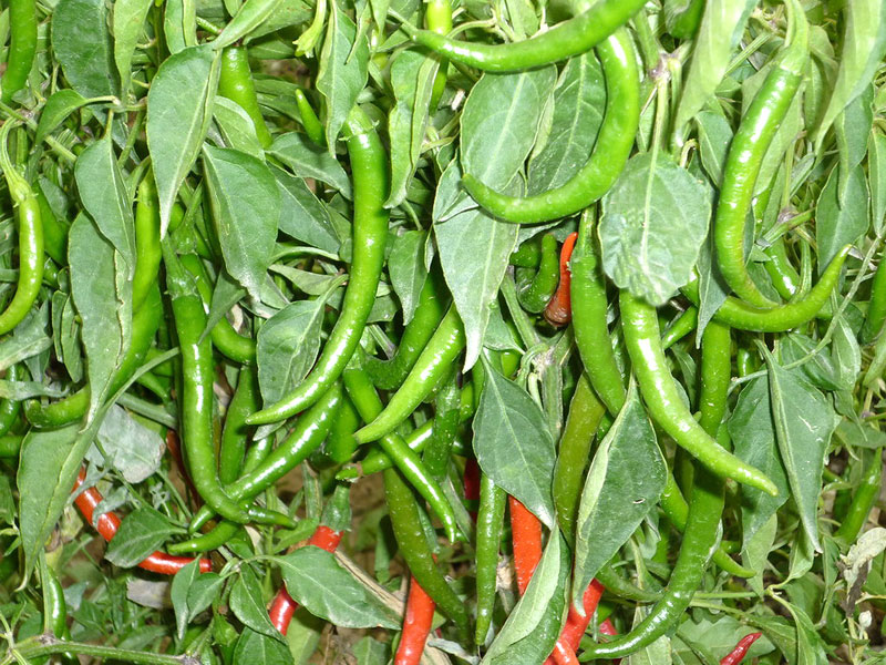 Hot pepper variety Gita (0337-7546)