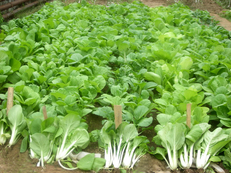 Leafy cabbage trial in Tashkent State Agrarian University