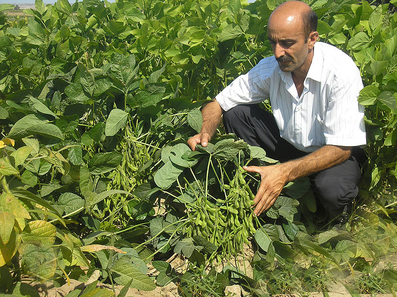 Vegetable soybean trial in ARIVG