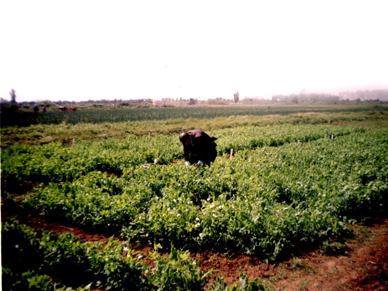 Vegetable crops'trial in ARIVG