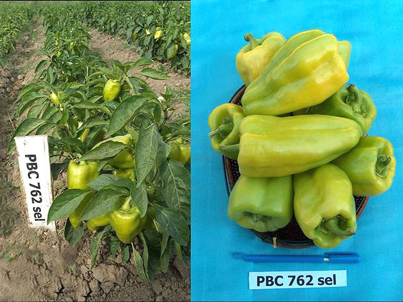 Sweet pepper variety Kaz-Tai submitted to SVTC