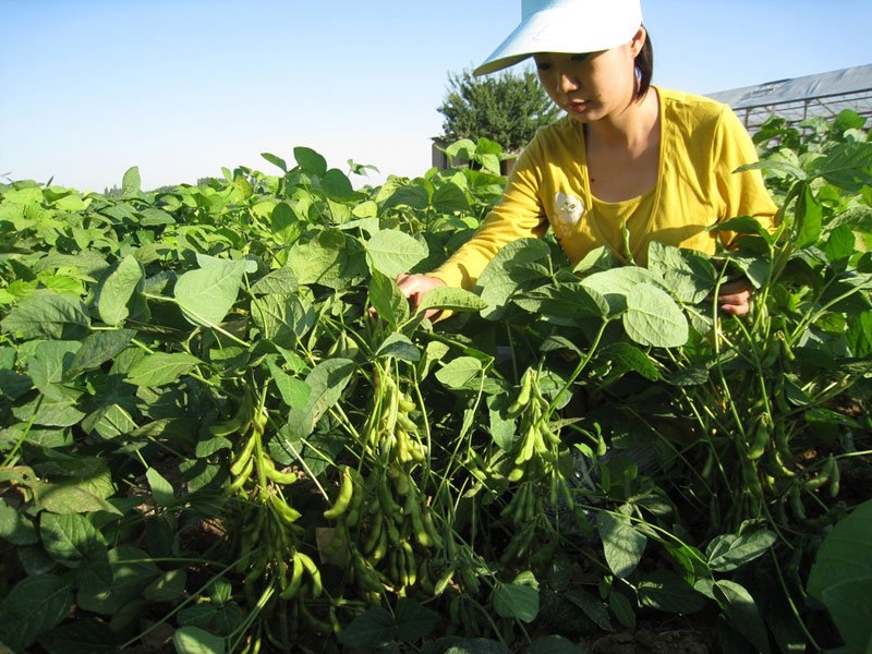 Vegetable soybean study in URIVMC&P