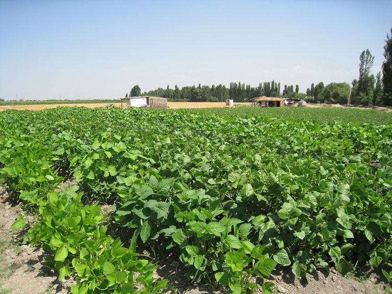 Vegetable soybean cultivated in farmers field