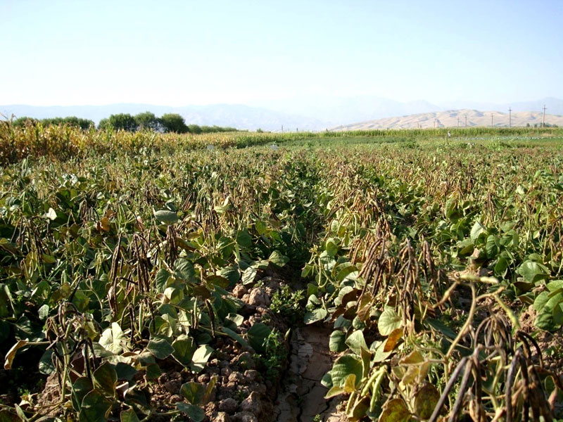 Promising mungbean variety Dubara submitted to SVTC