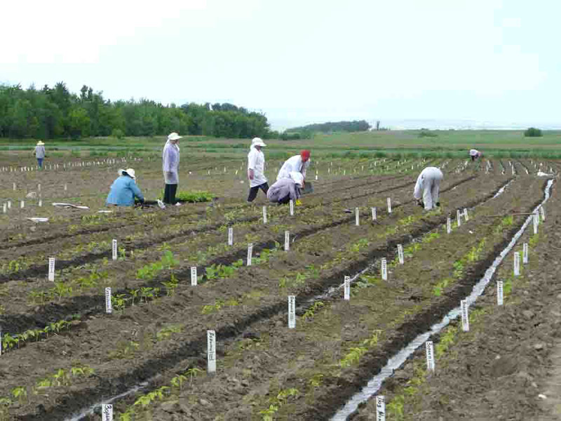 Planting of seedlings on experimental field