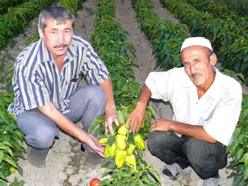 National coordinator Temirzhan Aytbayev demonstrates promising sweet pepper variety
