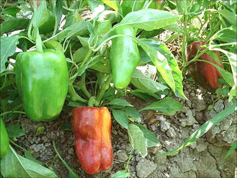 Sweet pepper variety Milly (PBC-271)