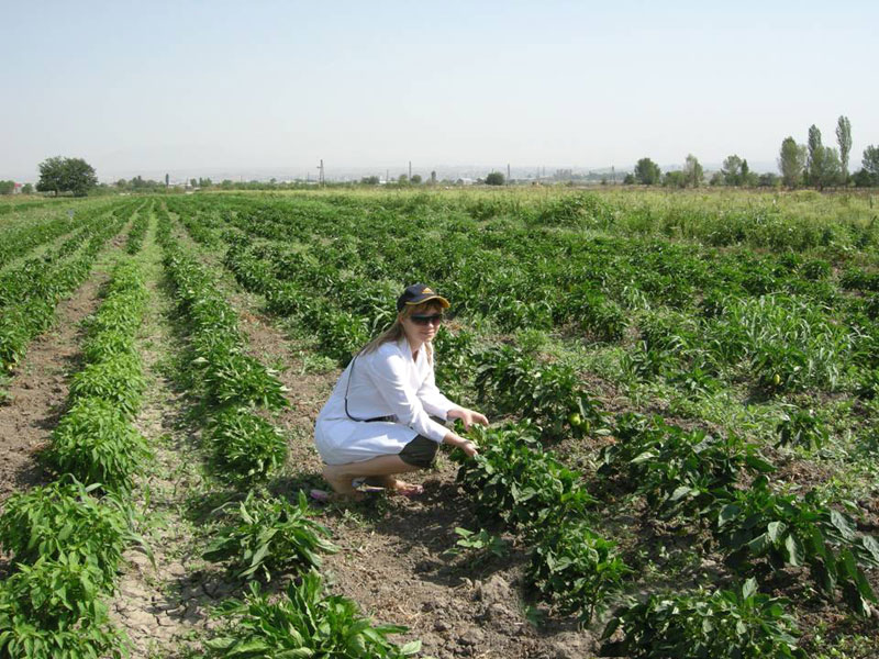 Pepper trial in Scientific Center of Vegetable&Industrial Crops , Armenia