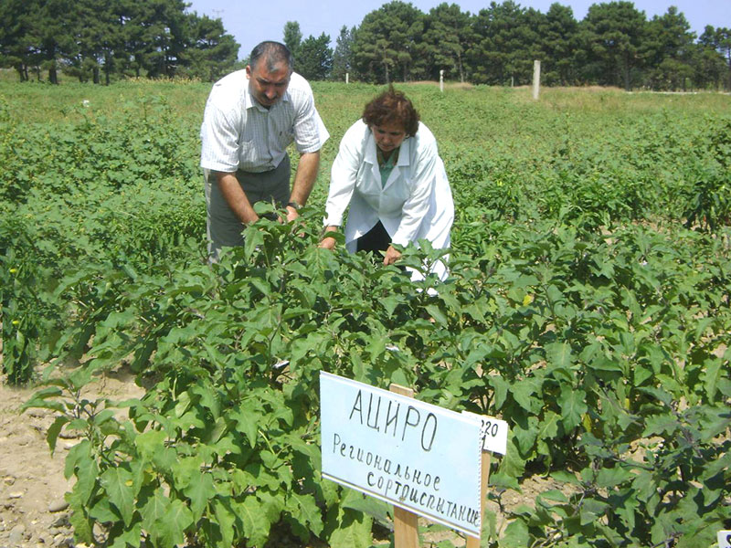 Eggplant trial in ARIVG