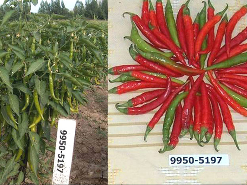 Hot pepper variety Pikant submitted to SVTC