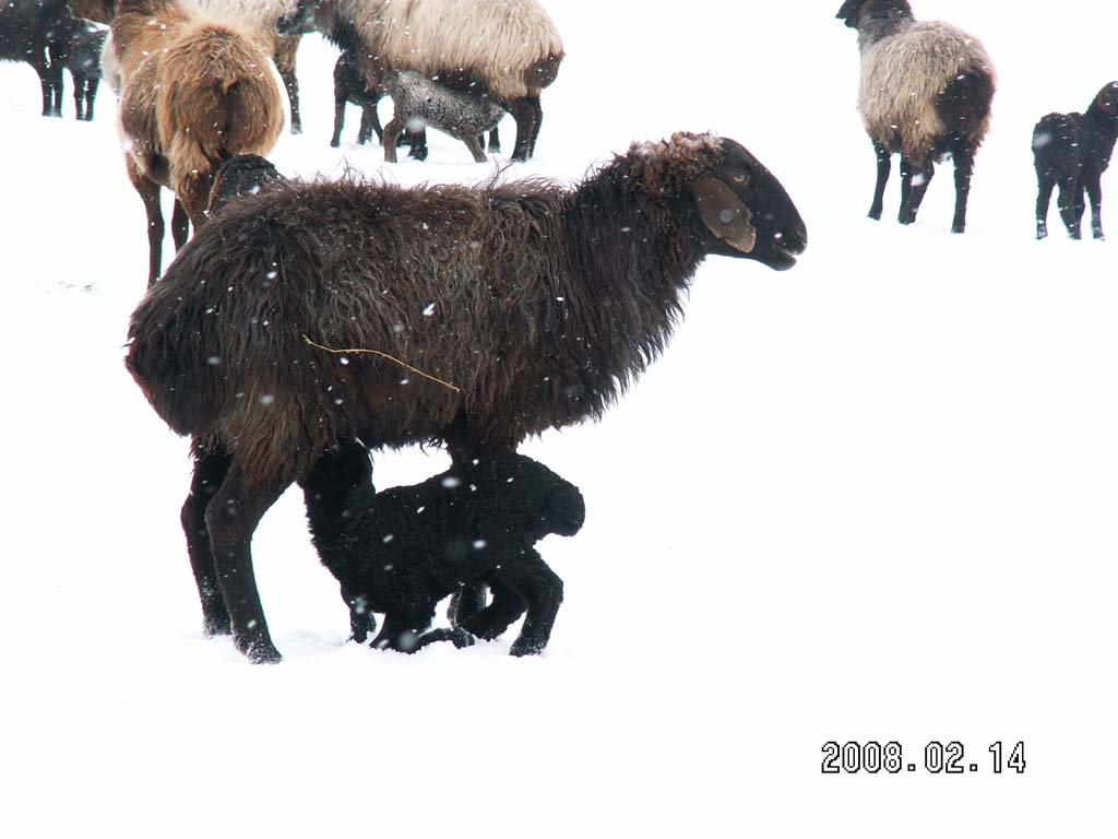 Early lambing in Kazakhstan