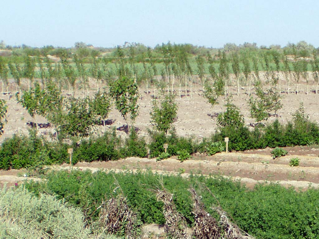 Agro-silvi plantation (second year tree of mulberry;poplar; Elaeagnus; and in from Atriplex undulata monohalophytic plantation)