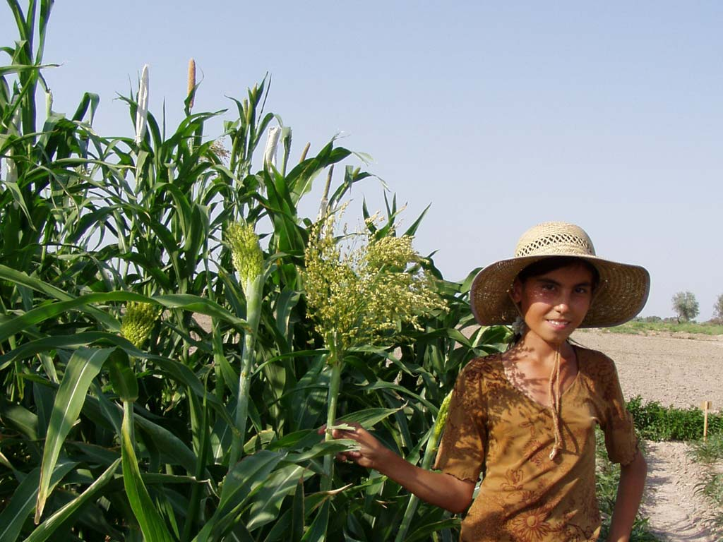 Top yielding Draft sorghum improved line